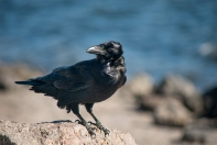 Raven on the beach at Yellowstone Lake, YNP.
