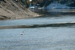 Trumpeter Swan on Yellowstone River.