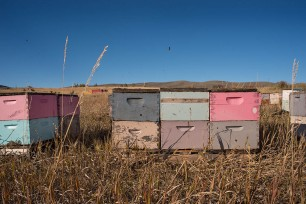Colorful Beehives with bees, Chesterfield, ID